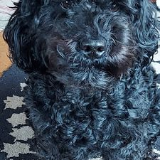 Bess, a black and very cute labradoodle.